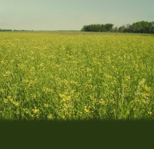 Camelina Sativa - the source of Camelina oil